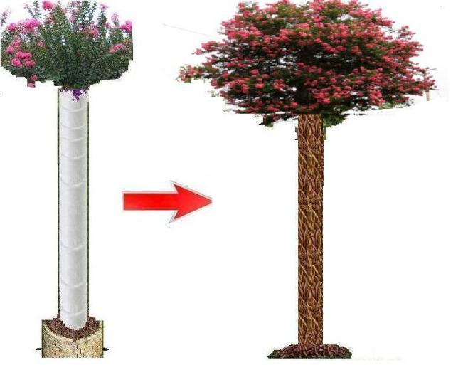 """美国紫薇""""百年大树""""种植示意图"""