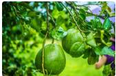 泰州市网上科技洽谈会--水果专场