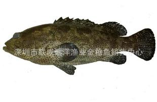 马尔代夫产天然野生石斑鱼--青斑(0-4度保存,全程空运)